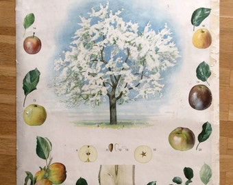Vintage School Poster - Pull Down Chart - Apple Tree Chart - Educational Poster - Botanical Poster - Genuine 1957 Poster