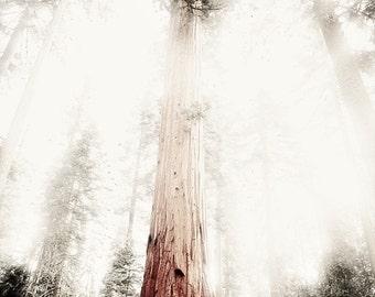 11x14 Fine Art Photo - Mariposa Grove - Yosemite -  Sequoia Trees - California