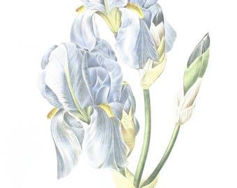 1986 Vintage botanical art Vintage pale blue iris poster Sweet iris Botanical art Blue flower poster botanist gift Blue floral print Redoute