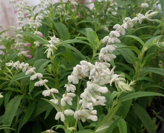 White Salvia Flower