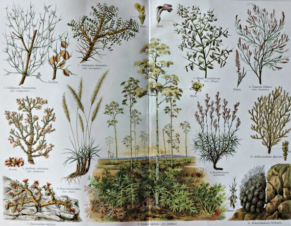 Steppe plants. Botany print. Old book plate, 1904. Antique illustration. 112 years lithograph. 9'6 x 11'7 inches.