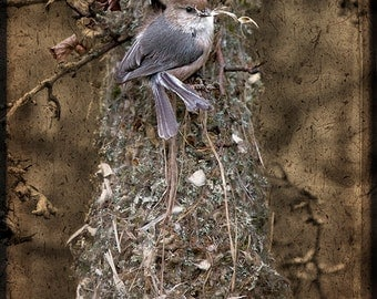 Bushtits Finishing Their Nest