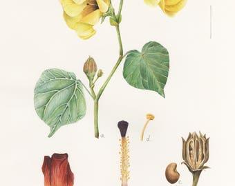 Hibiscus tiliaceus Print