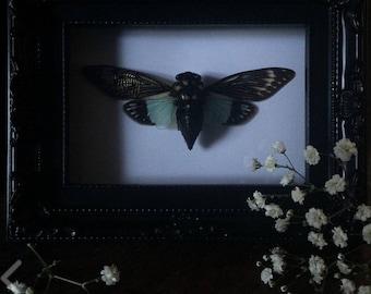 Tosena splendida - Black Ornate Frame