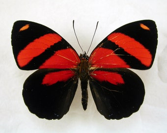 Red Zebra -Callicore cynosura - Real Framed Red Butterfly