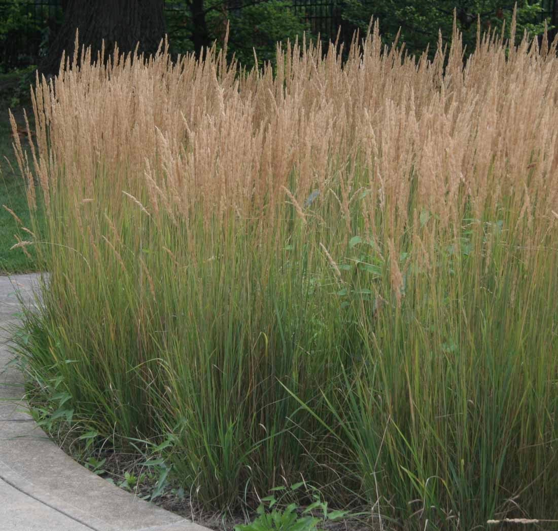 10 karl foerster ornamental grasses ten perennial plants