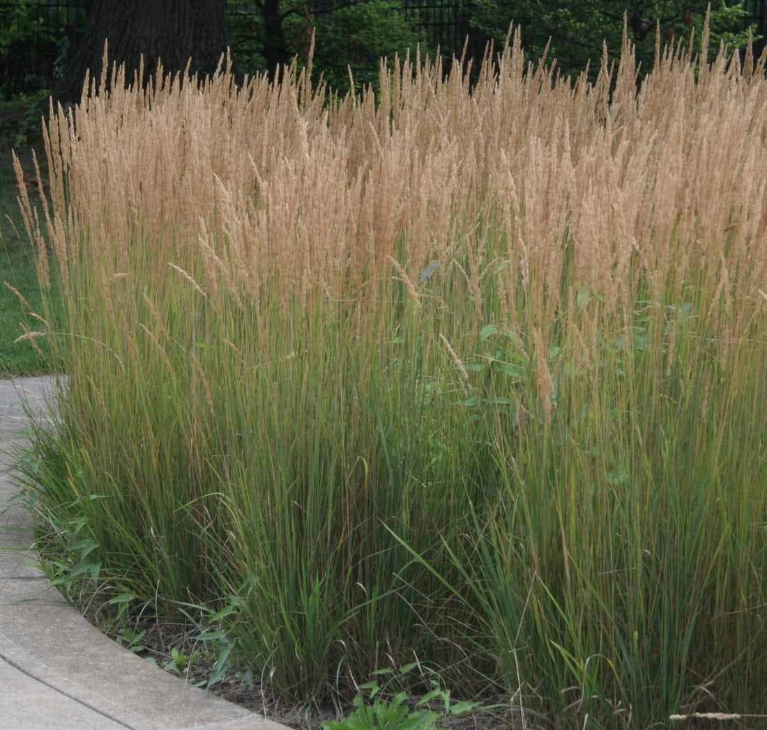 10 karl foerster ornamental grasses ten perennial plants for Low growing perennial grasses