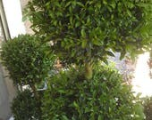 Live Double Topiaries -  3 ft tall