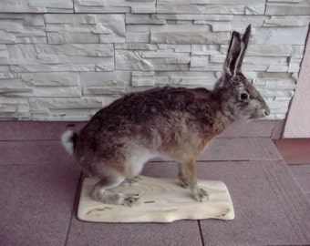 Hare Taxidermy