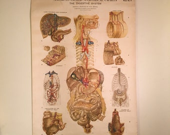 Wall Chart of the Digestive System, Vintage Frohse Anatomical Chart