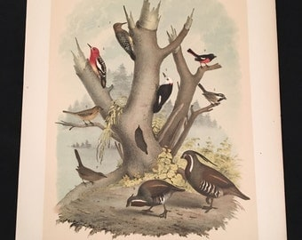 1881 Birds of North America Print - Woodpecker Titmouse and Quail, Plate LXXXIX: Color Lithograph by Jasper