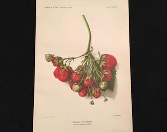 Antique Fruit Print - Cardinal Strawberry, 1903 Dept. of Agriculture Print, Vintage Restaurant Art