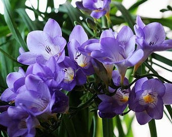 Freesia Hybrida Bulbs Potted Flowers Orchid Potted Plant (it is not seed) 5 Bulbs (Item No: 1)