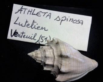 fossile de coquillage Athleta