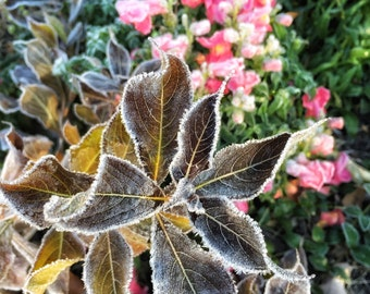 Original Photography Frosted Garden Snapdragons Nature Photo Floral Photo Wall Decor Flowers Landscape Photo Housewarming gift Home Decor