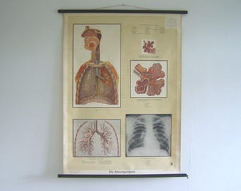 Anatomical Poster - Lung Poster - Lung Art - Human Body Art - Lung Pull Down Chart - The human body