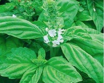 50 Seeds Heirloom Organic Large Leaf Sweet Basil Seeds  Fragrant Saint Joseph's Wort Ocimum Basilicum