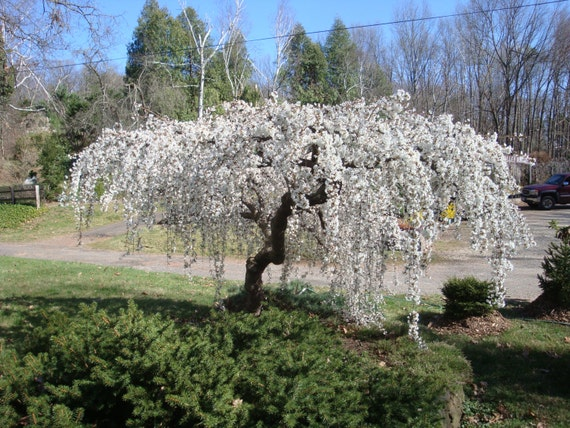 20 Seeds Snow Fountain Weeping Cherry Tree Home Garden Dwarf Drought Tolerant Hardy From Greekspices On Etsy Studio