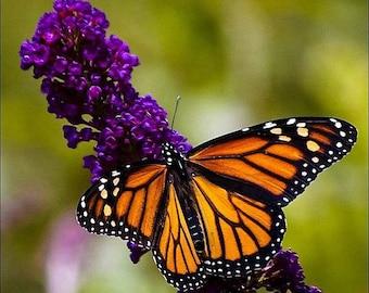 Buddleia Black Knight Butterfly Bush 3 Gallon