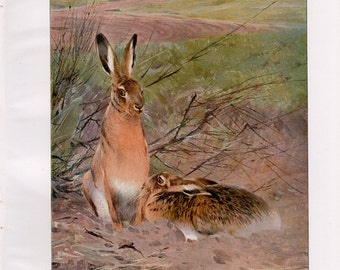 Antique Hare Lithograph - Vintage Hare Print from 1950