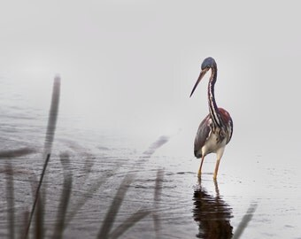 Hunting Tri-colored Heron: Print or Canvas