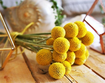 10 - 400 X dried billy buttons, dried Craspedia flowers, dried yellow ball, dried flower arrangement, wedding bouquet, craspedia flowers