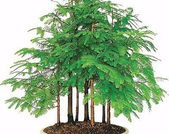 25 Dawn Redwood Tree Seeds, Metasequoia Glyptostroboides, Bonsai or Outdoor - Combine Shipping!