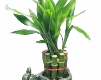 Lucky Bamboo Plant - 10 Stalks (FREE SHIPPING)