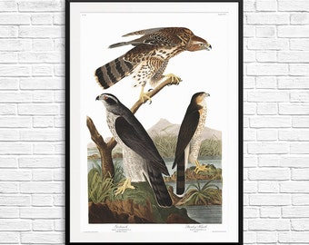 Goshawk, Stanley Hawk, Hawks, hawks prints, hawks posters, hawks art, antique posters, antique wall art, antique etchings, Audubon Bird Art