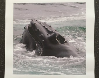 "16""x16"" Photo Print Humpback Whale's Head"