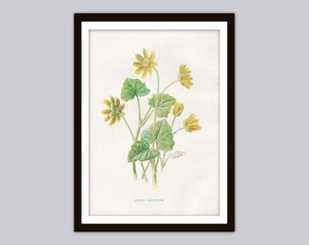 1899 Edward Hulme LESSER CELANDINE Antique Botanical Print | Ficaria Verna Fig Buttercup | Floral Art: Plants, Wild Flowers, Yellow Blossoms