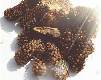 BLUE SPRUCE PINE Cones for Crafts,Witch Decor, Cabin Decor, Woodland Crafts, Forest Handpicked 13 Home Decor Christmas Decor, Bohemian Decor