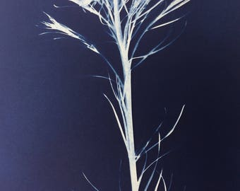 Amsonia Botanical Photogram Cyanotype Print