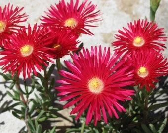 100 Gelato Bright RED ICE PLANT Mesembryanthemum Daisy Livingstone Flower Seeds
