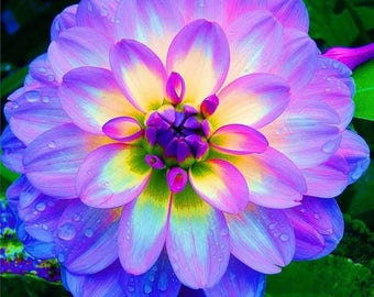 Grow Your Own Rainbow Dinner Plate Dahlia From Seed, 20 Seeds In A Pack, Organic, GMO Free