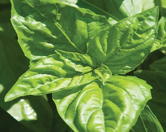 Large Italian Basil-Organic Seeds-NON-GMO-Vegetable Seeds