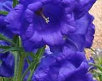 50+  CANTERBURY BELLS Blue Double,  Campanula  / PERENNIAL / Rabbit Resistant  Flower Seeds