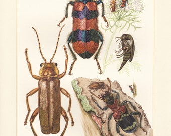 Vintage lithograph of soldier beetles, checkered beetle, ant beetle from 1956
