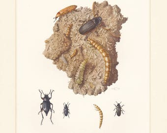 Vintage lithograph of yellow mealworm, darkling beetles, blaps mortisaga from 1955