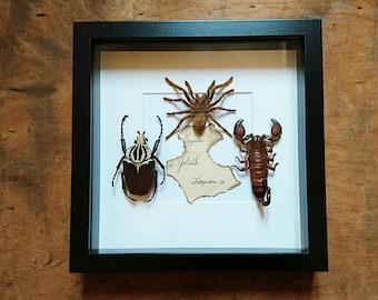 Tarantula Goliath Scorpion framed taxidermy