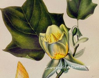 Tulip Tree Tree Liriodendron Tulipifera Prestele Vintage Poster Print Botanical Lithograph To Frame 202
