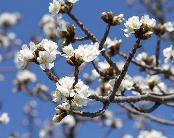 White Cherry Blossom, Photograph Print Flower  Tree Branches Spring Peaceful Zen blue sky