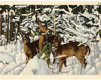 Vintage Wildlife Postcard - Deer in the Snow (Unused)