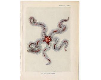 c. 1907 ANTIQUE STARFISH LITHOGRAPH - original antique print - sea life marine beach ocean - brittle starfish
