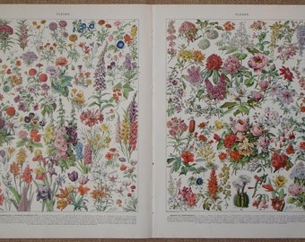 TWO Antique Illustrations of FLEURS (Flowers) by Adolphe Millot from Nouveau Larousse Illustré published 1930