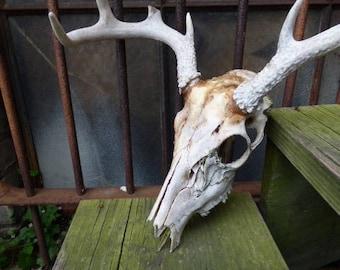 Real deer skull vintage taxidermy whole head Antlers teeth Oddities southwestern tumbleweeds