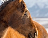 Close Up Horse Photograph in Color | Equestrain Photography | Western Wall Art