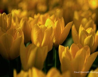 Photo Art - Flower Photography - Fine Art Photography - Tulips - Flowers - Tulip Festival -  RoozenGaarde - Yellow Tulips -16 X 24 -  Prints