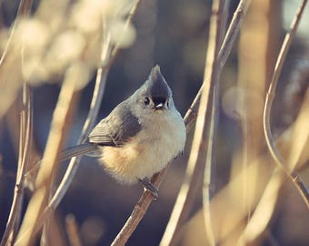 Tufted Titmouse Photograph, nature photography,morning sunlight,sunrise,gray,beautiful home decor,gifts for bird lovers,adorable bird print