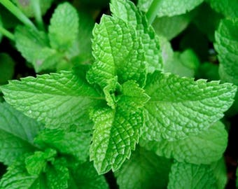 Peppermint Heirloom Medicinal Herb Seeds
